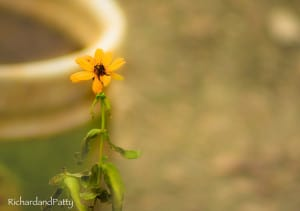 African-Daisy-Flower