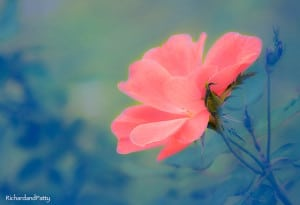 Pink-Rose-Flower-Photography